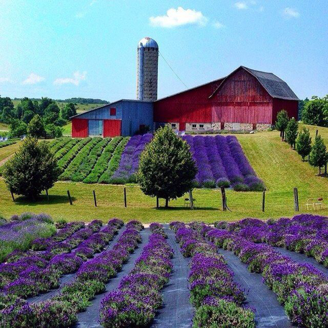Northern-Michigan-Lavender-Field
